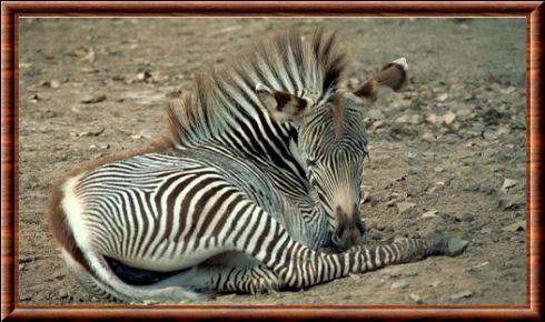 Zèbre de Grévy (Equus grevyi)
