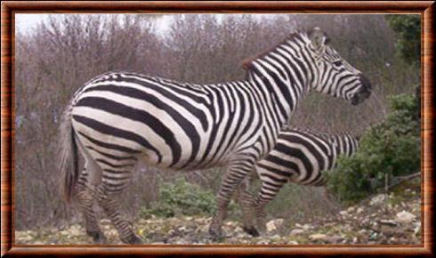 Zèbre de Grant (Equus quagga bohemi)