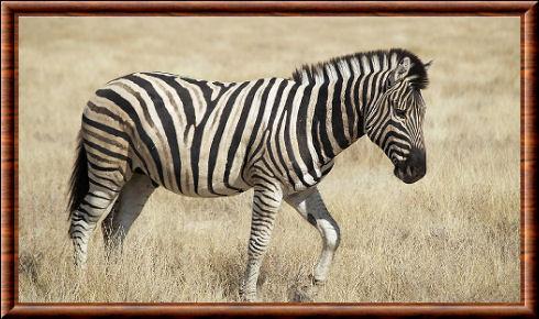 Zèbre de Burchell (Equus quagga burchellii)