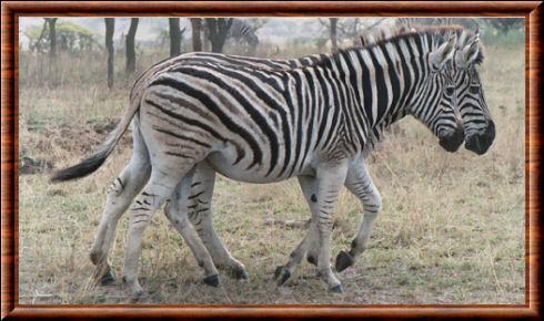 Zèbre de Chapman (Equus quagga chapmani)