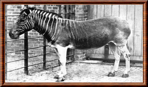 Quagga (Equus quagga quagga)