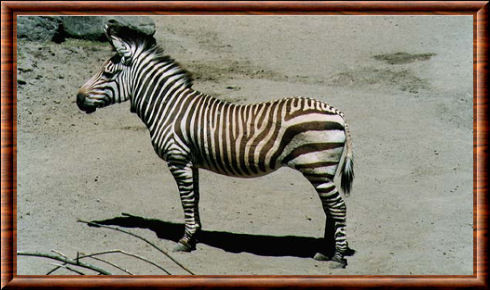 Zbre de Hartmann (Equus zebra hartmannae)