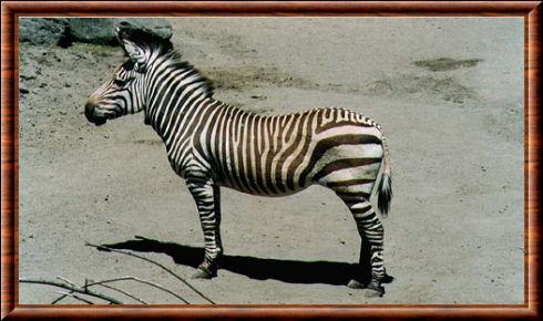Zèbre de Hartmann (Equus zebra hartmannae)