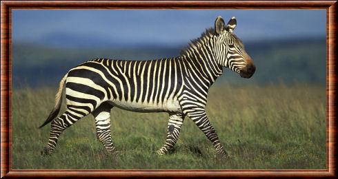 Zèbre du Cap (Equus zebra zebra)