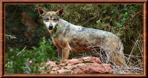 Canis lupus pallipes