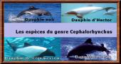 Cephalorhynchus
