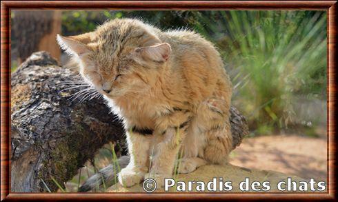chats des sables a vendre