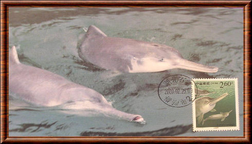 Chinese River Dolphin
