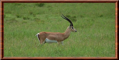 Gazelle Rouge Animal