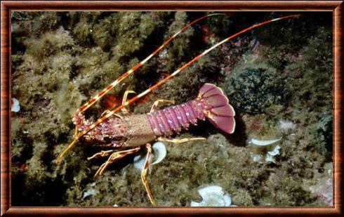 Des langoustes rouges introduites dans une zone marine protégée en Méditerranée