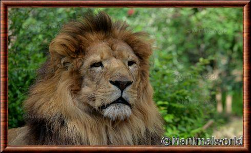 lion d 39 afrique panthera leo. Black Bedroom Furniture Sets. Home Design Ideas