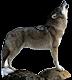 Loup de Sibérie (Canis lupus albus) Loup
