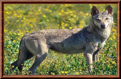 Loup des indes (Canis lupus pallipes)