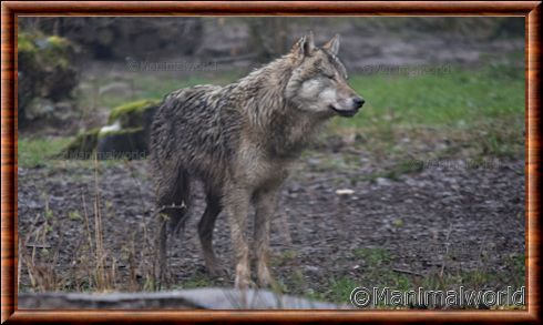 Loup d'Europe