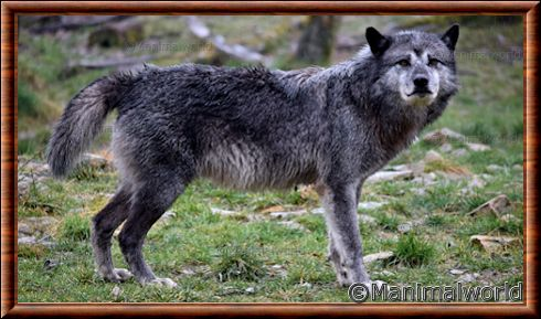 Loup du Canada (Canis lupus occidentalis)
