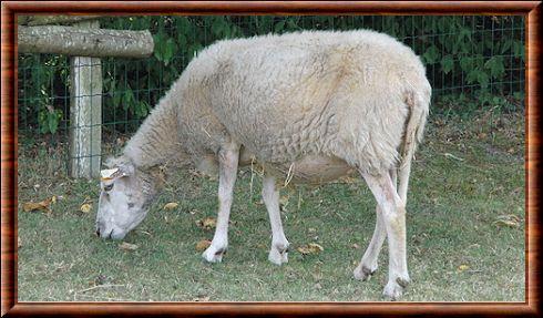 Mouton ovis aries - Photo de mouton a imprimer ...