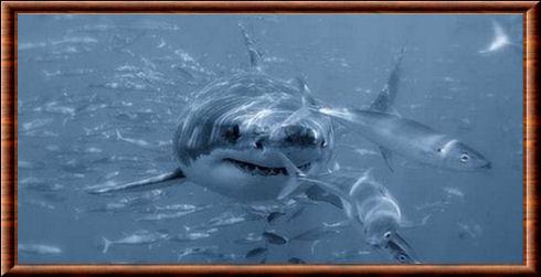 Grand requin blanc carcharodon carcharias - Dessiner un requin blanc ...