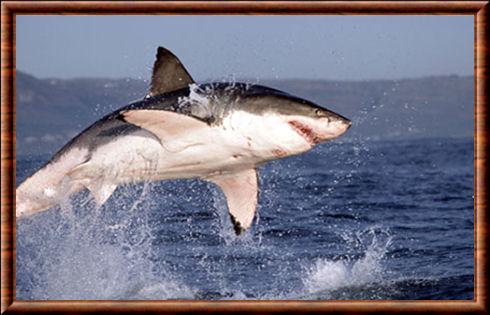 Grand requin blanc carcharodon carcharias for Koi qui saute hors de l eau
