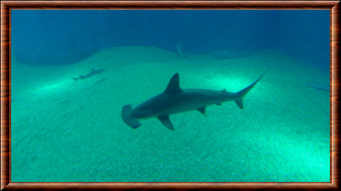 Espece requin