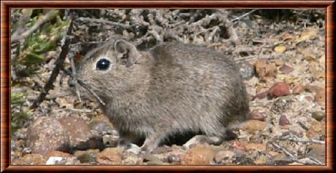 Spix's yellow-toothed cavy