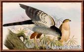 Accipiter