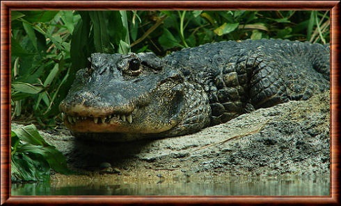 Alligator de Chine (Alligator sinensis)