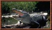 Alligatorgenre