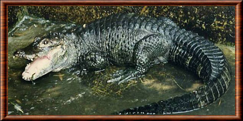 Alligator sinensis