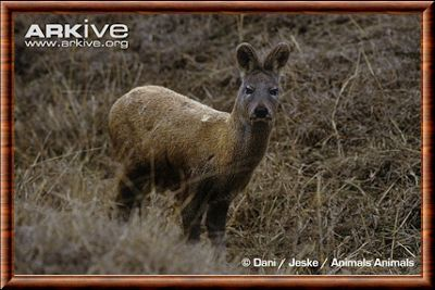 Alpine musc deer