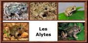 Alytes