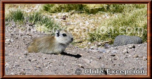 Andean mountain cavy
