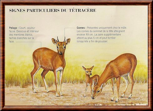 antilope tétracère 01