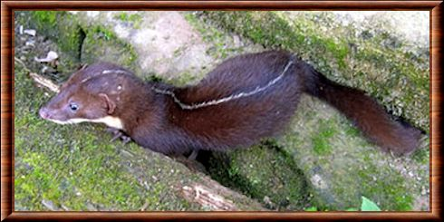 Back-striped weasel