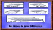 balaenoptera.jpg