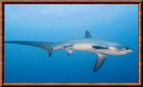 Bigeye-thresher-shark