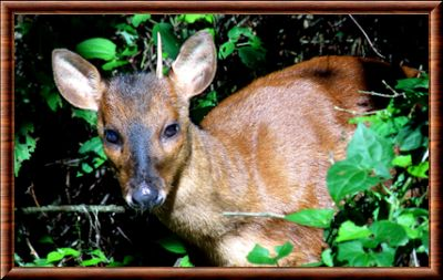 Brazilian Dwarf Brocket