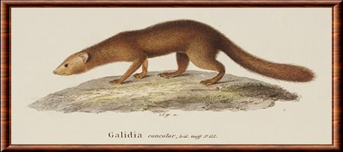 Brown-tailed mongoose