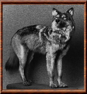 Canis lupus beothucus