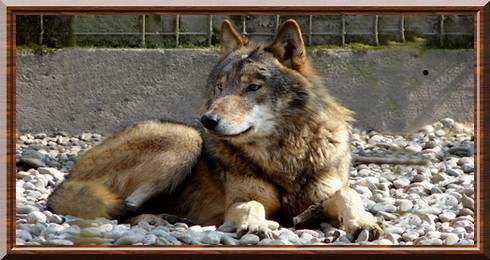 Canis lupus lycaon