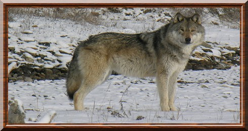 Canis lupus occidentalis