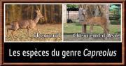 Capreolus