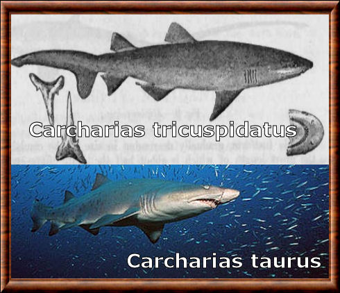 Carcharias