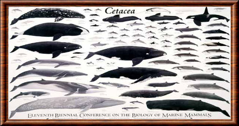 cetace