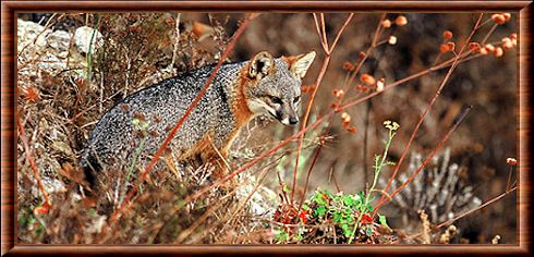 Channel Island fox