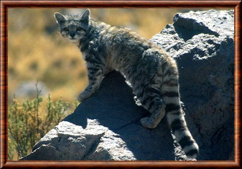Chat des Andes (Leopardus jacobitus)