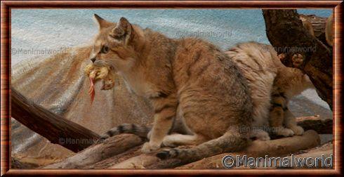 Chat des sables felis margarita - Chat des sables a vendre ...