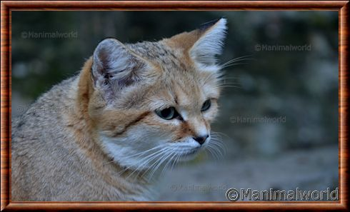 Chat des sables 05