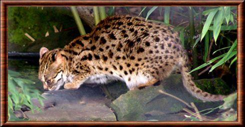 Le chat,léopard du Bengale est un mammifère carnivore