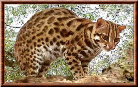 Le chat,léopard