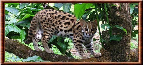 Le chat,léopard est une espèce semi,arboricole